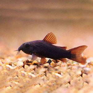 Ribe dna